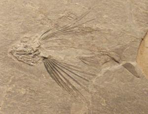 800px-Thoracopterus_magnificus