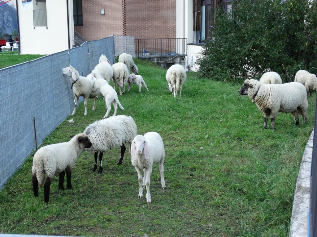 zootecniche pecore 2