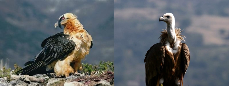 A sinistra un Gipeto avvistato sulle Alpi, a destra un Grifone del parco del Pollino