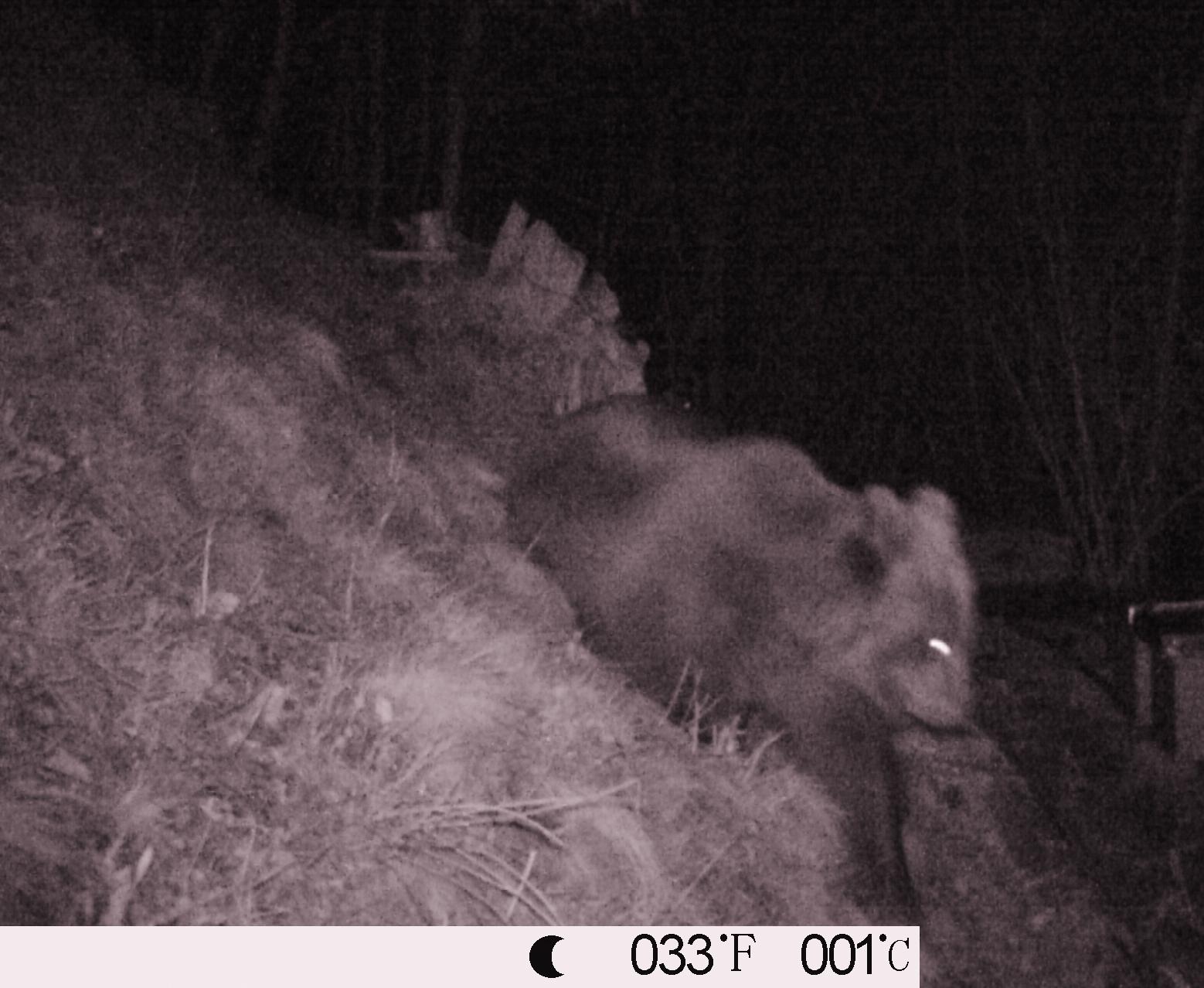 Risultati immagini per orso valsassinanews