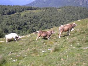 mucche pascolo alpeggio