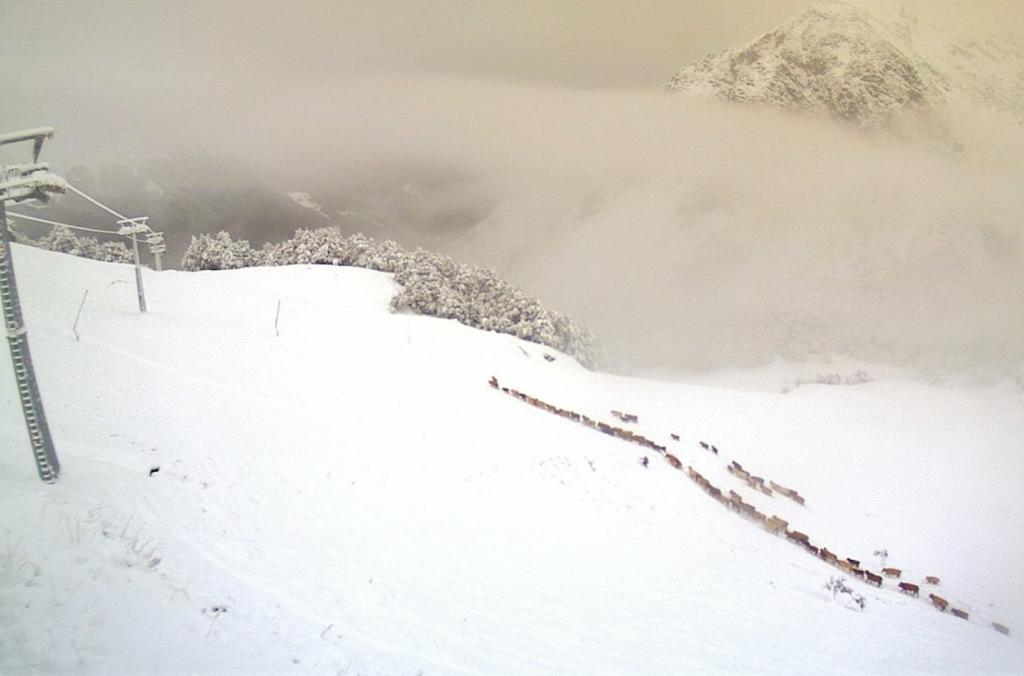 mucche-transumanza-neve-valtorta