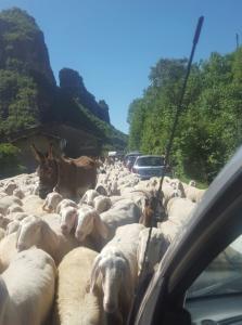 pecore balisio 1
