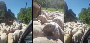 pecore balisio oriz