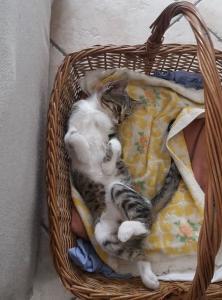 gatta simba moggio (1)