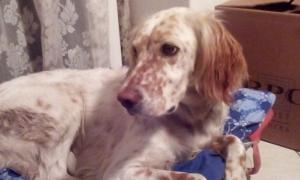 cane-scappato-Daisy