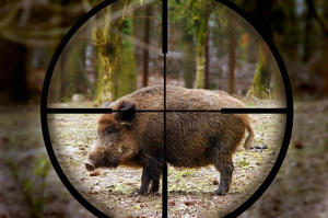 caccia al cinghiale mirino