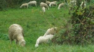 balisio-pecore-2
