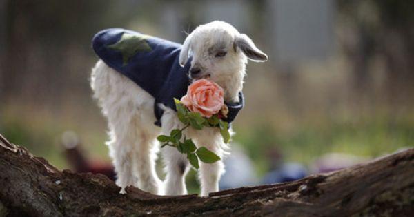 capre rose agnello