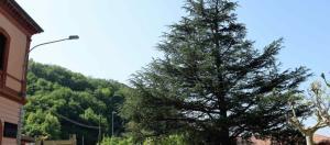 cedro-libano-perledo1-680x300