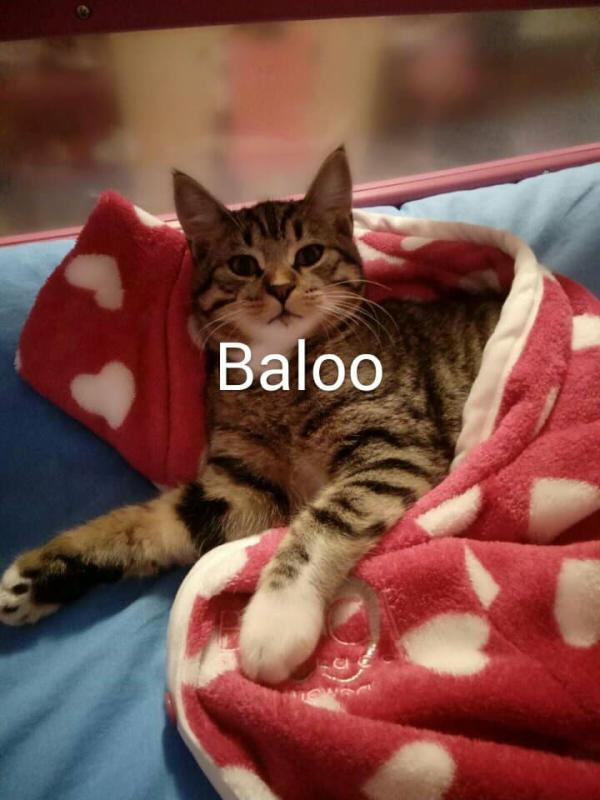 GATTO BALOO 2