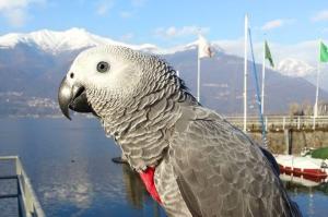 shari pappagallo cenerino (1)