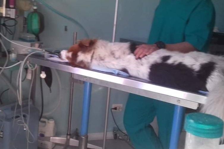 https://www.valsassinanews.com/wp-content/uploads/2019/03/simba-avvelenato-su-lettino-veterinario.jpg
